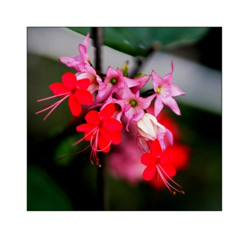 Clerodendrum-speciosum-(2)