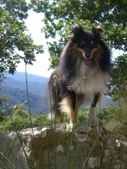 Fritz (Marcus Ampe his Shetland Collie)