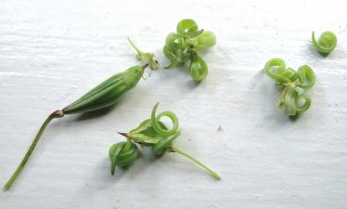 impatiens-seeds