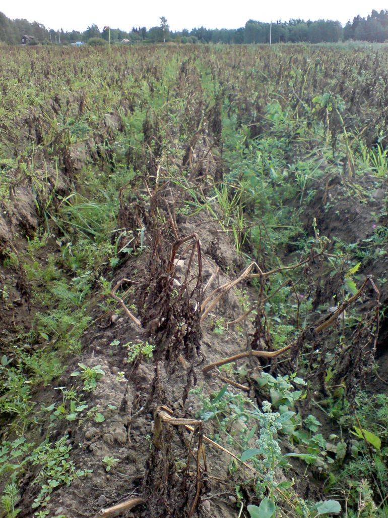 potato_field_heavily_infected_by_p-_infestans