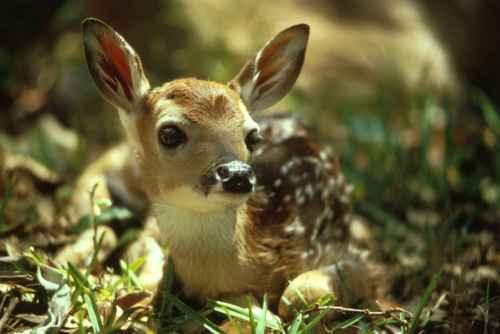 Cute_deer_fawn